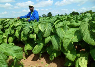 tobacco contract farmer